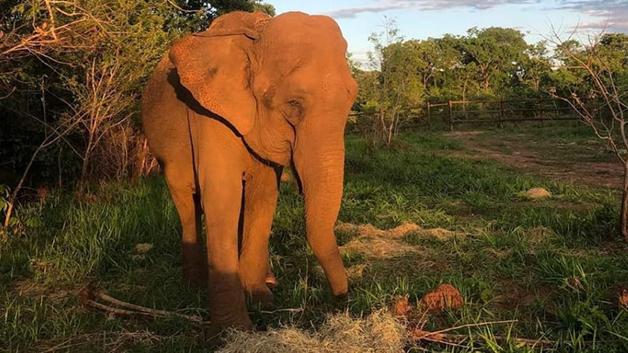 A elefanta Bambi no Santuário em Mato Grosso