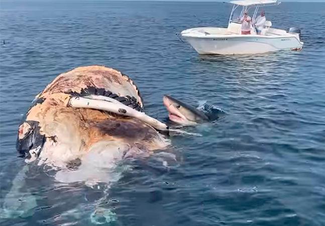 Baleia é devorada por 8 tubarões-brancos; veja o vídeo impressionante