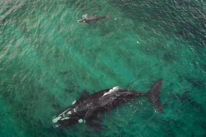 Drone registra acasalamento de baleias em Florianópolis; veja vídeo