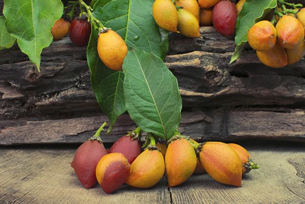 Caferana, um fruto semelhante ao guaraná