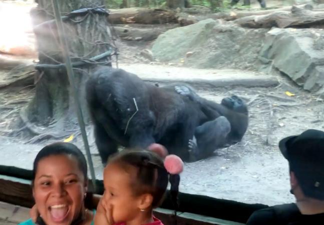 Gorilas praticam sexo oral em zoo, chocam crianças e mostram que lugar de animais é na natureza