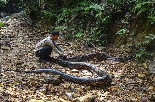 Cobra píton de 9 metros na Indonésia