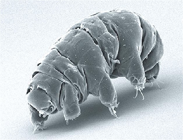 """o animal, apelidado de """"urso-d'água"""", visto em um microscópio"""