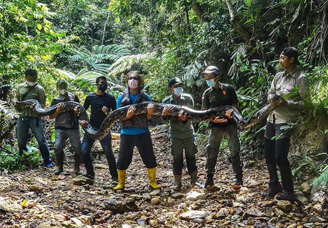 Conheça a cobra píton de 9 metros e mais de 100 kg capturada em aldeia na Indonésia