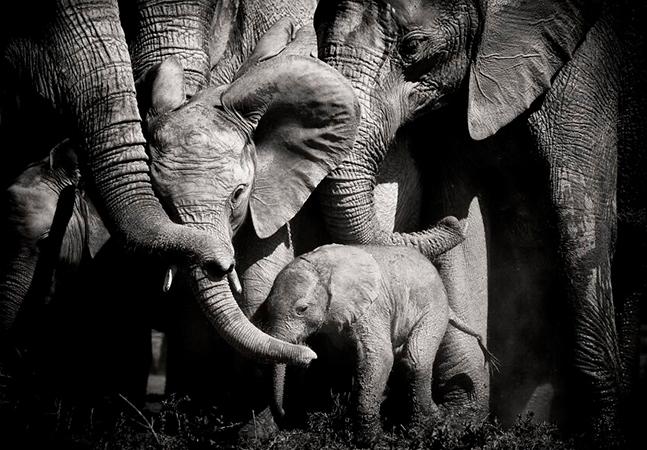 Elefante macho tenta separar bebê da mãe e manada se mobiliza para impedi-lo
