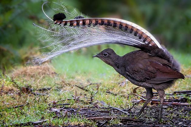 Pássaro-lira