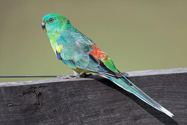 O papagaio-ruivo