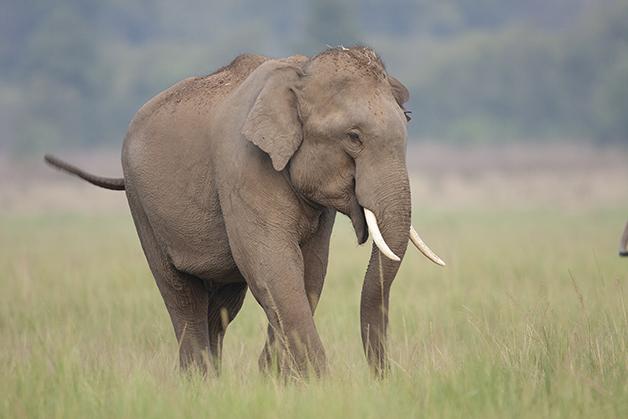 O elefante asiático