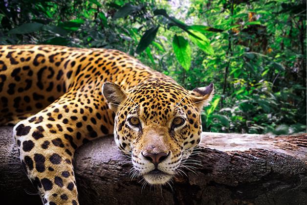 Onça-pintada descansando em floresta no Peru