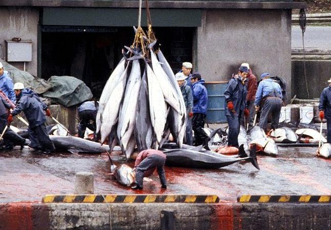 Japão inicia caça que pretende capturar ou matar quase 2 mil golfinhos