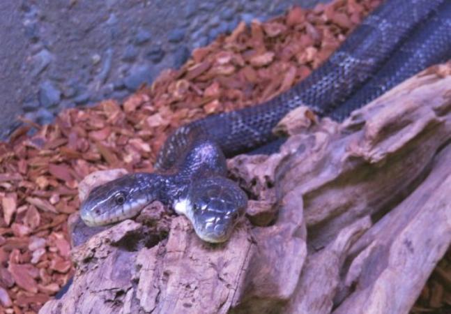 Cobra de duas cabeças celebra aniversário de 16 anos; caso surpreende