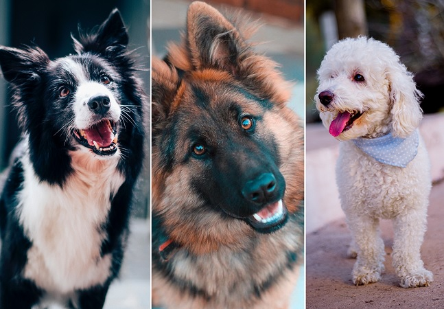 Estas são as raças de cães mais inteligentes, segundo a ciência