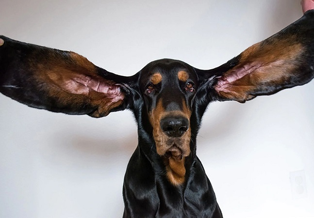 Cachorro com orelha mais longa do mundo está entre novos recordes do Guinness