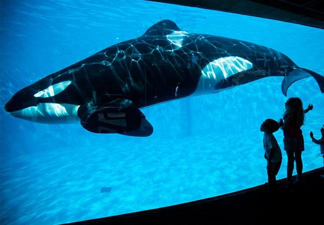 Kiska, a baleia mais solitária do mundo, vive sozinha em um tanque há 10 anos