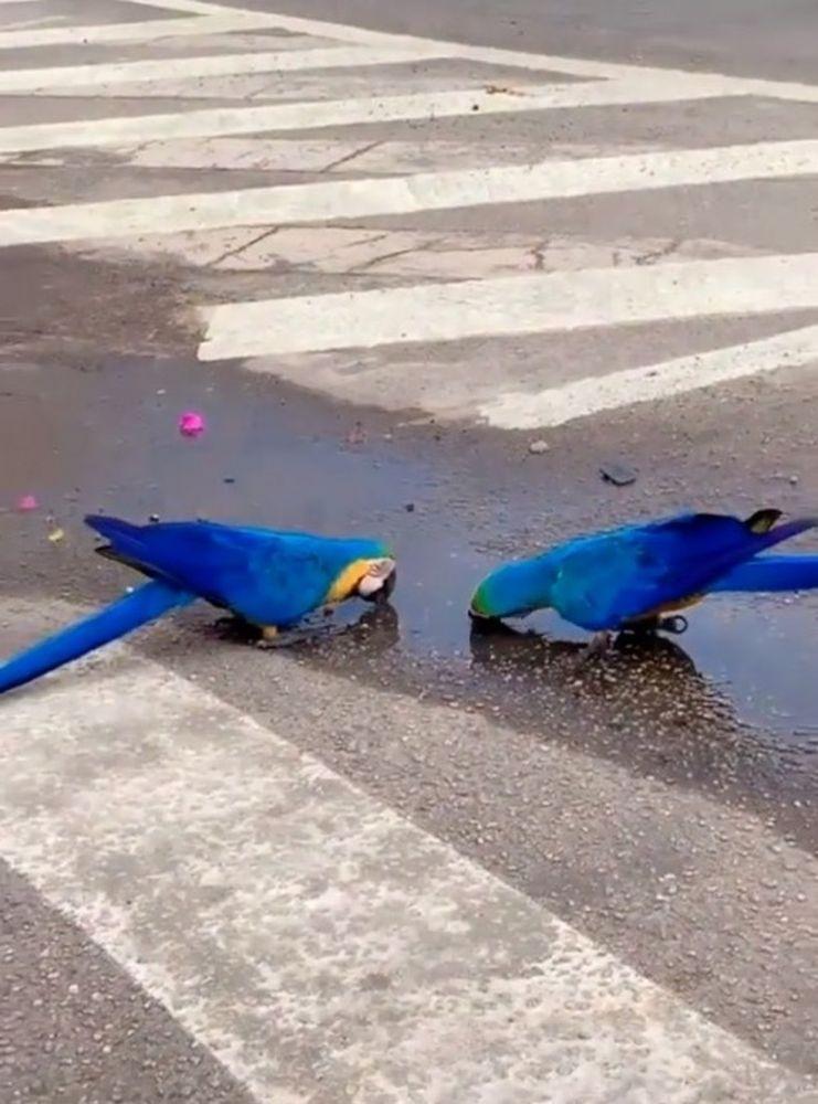 Casal de araras para beber água em pleno trânsito de Palmas