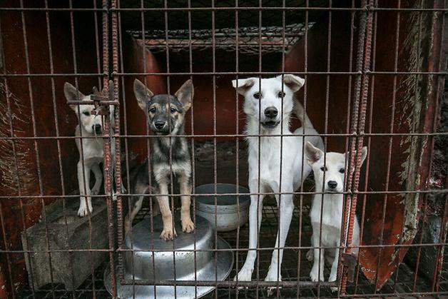 Cães presos em uma fazenda de carne desmontada no país