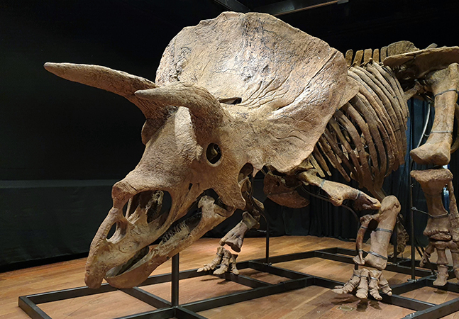 Esqueleto de tricerátops com 8 metros de comprimento é leiloado por 44 milhões de reais