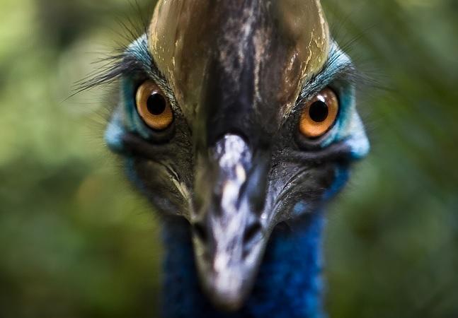 Estudo detalha pássaro criado por humanos há 18 mil anos e considerado o mais perigoso de todos
